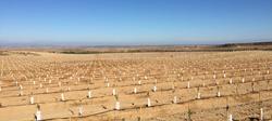 Nueva plantación de almendro