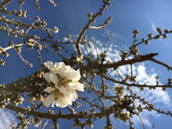 Floración de almendro (Lleida)