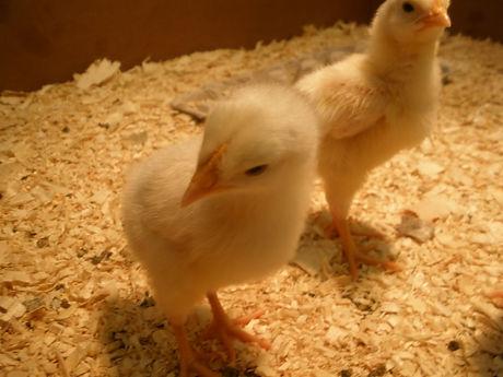 big chick.JPG