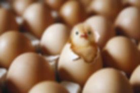 hatching-chicken-eggs.jpg