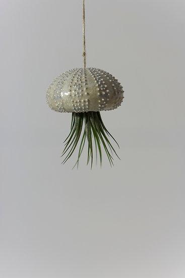 Oursin XS et son tillandsia (plante)
