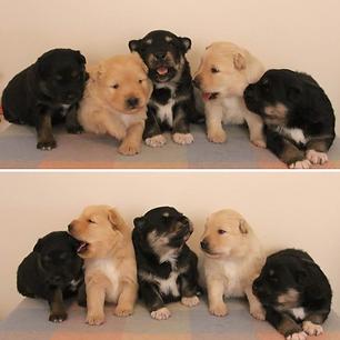Lapphund Puppies Ukkonen