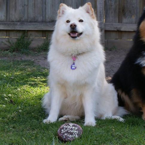 Mischa Cream Lapphund