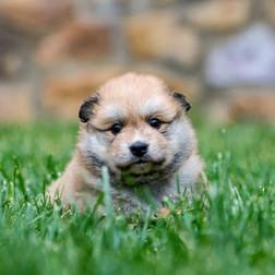 Skipper Puppy