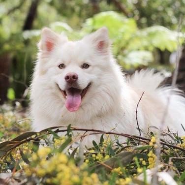 Spirit: Finnish Lapphund Cream