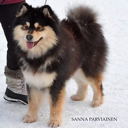 Finnish Lapphund Sire Stud Dog Pihkarinteen Golijatti