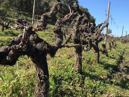 What are old vines for you?