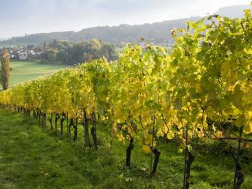 Vinho Verde - Um vinho que não é verde