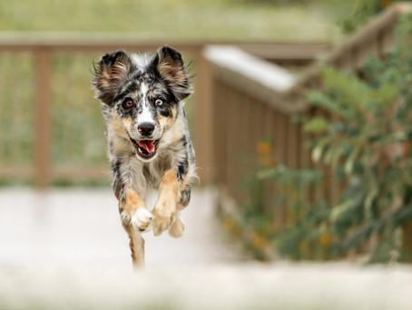 Outdoor Summer Dog Photo Session   Massillon, Ohio Dog Photography