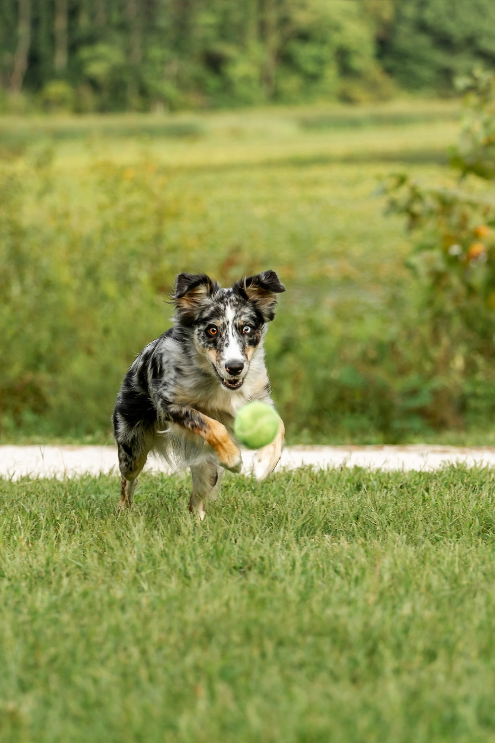 Australian Shepherd Chasing a Tennis Ball, Sippo Lake Park Dog Photography