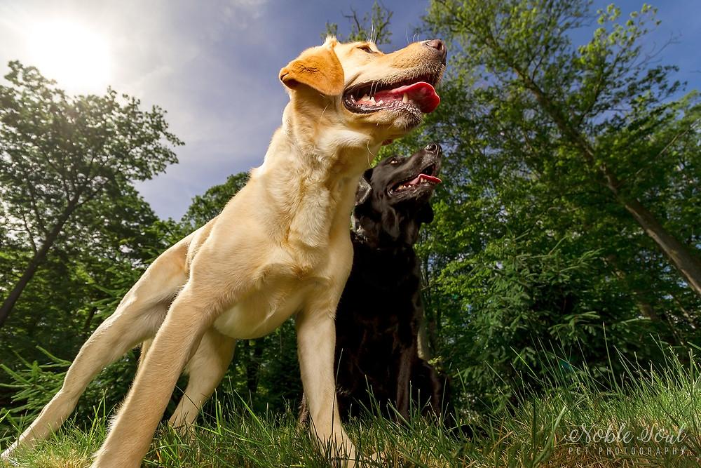 Yellow and Black Lab Pet Photography in Medina, Ohio