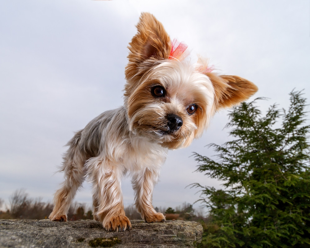 Yorkeshire Terrier standing on a rock at Petros Lake Park, Massillon Ohio