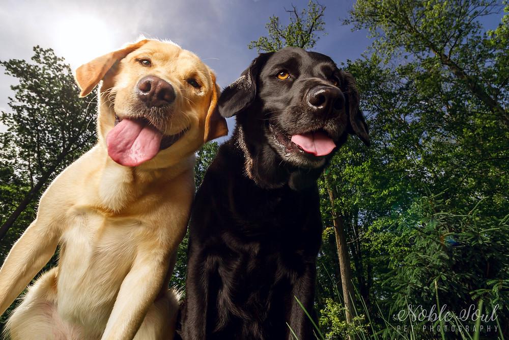 Professional Labrador Retriever Photography in Medina, Ohio