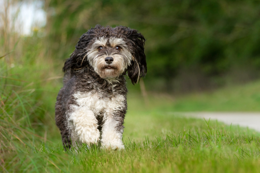 Cavachon running through the grass in Twinsburg, Ohio