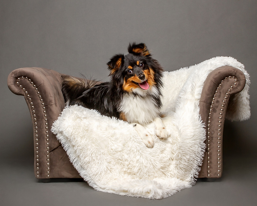 Shetland Sheepdog on a sofa in the studio, Studio Dog Photo North Lawrence, Ohio
