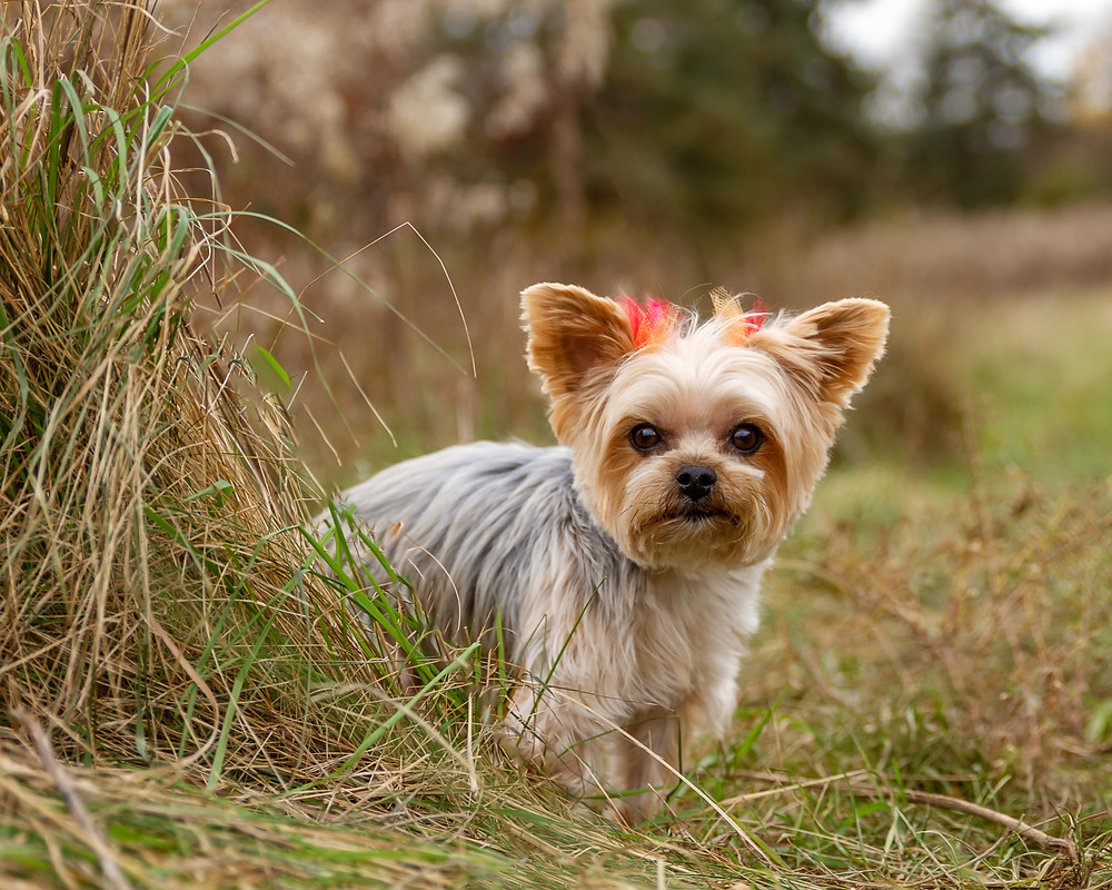 Yorkie Standing Near Tall Grass, Fall Dog Photo Session in Massillon, Ohio