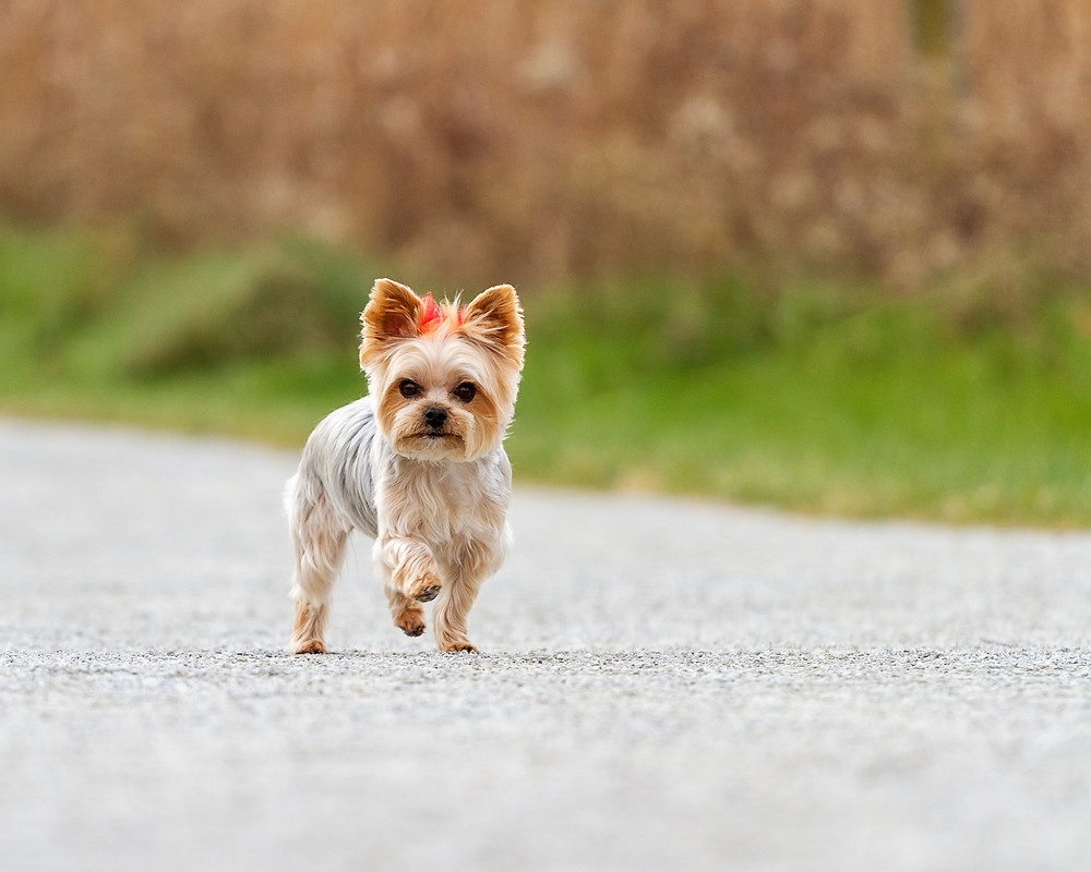 Yorkie trotting down path at Petros Lake Park, Massillon, Ohio