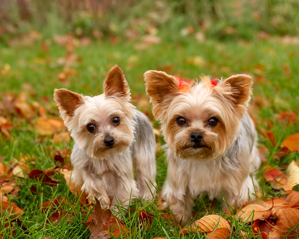 Two yorkies in Petros Lake Park, Massillon Ohio