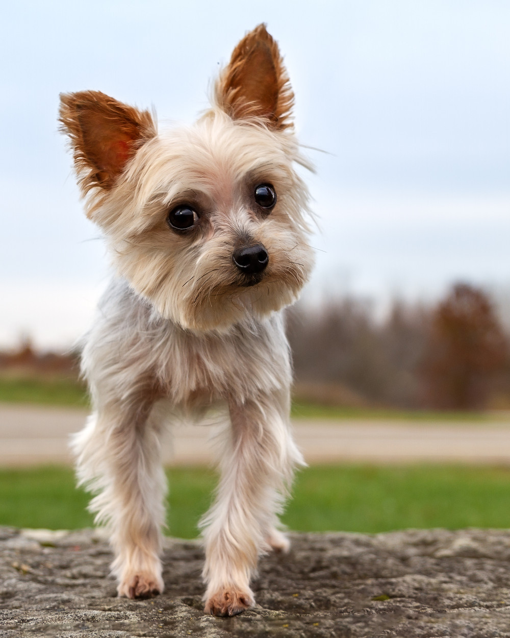 Yorkie standing on a rock at Petros Lake Park, Massillon Ohio
