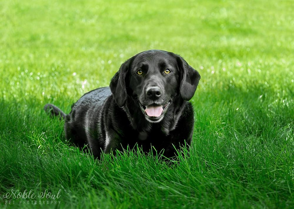 Professional pet photo of Black Lab sitting in grass in Medina, Ohio