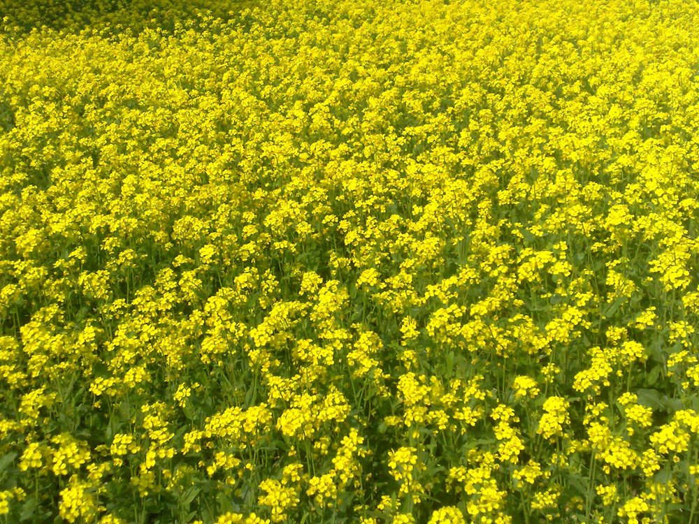 Mustard_plant_bangladesh.jpg