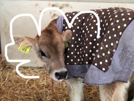 牛着コレクション