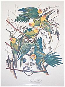 Vintage Audubon Prints: Birds : Nature: Carolina Parrot