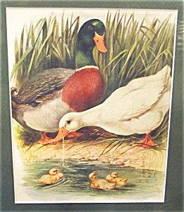 Vintage Print: Farm & Country: Mallard: Ducks