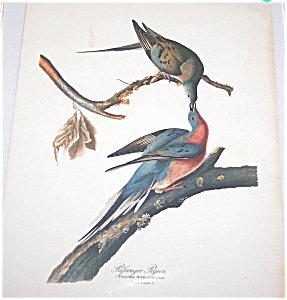 Vintage Audubon Prints: Birds & Nature: Pigeon
