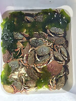 Tub full of juvenile Dungeness crab