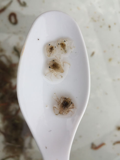 4Dungeness Crab megalopae on our favorite research tool, a white plastic spoon!