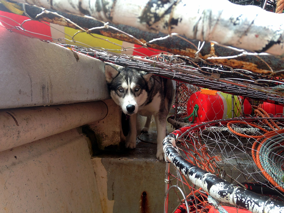 Husky peering between traps on boat