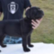 cane corso filhote.jpg
