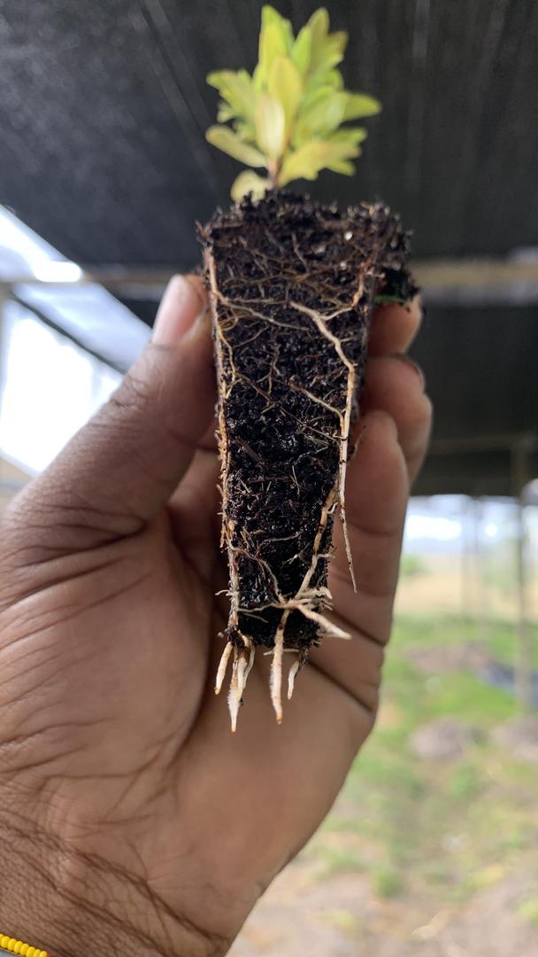 Root Assements