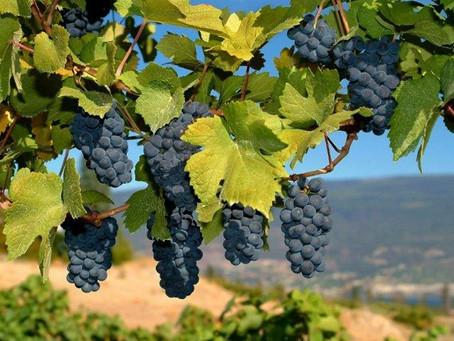 В Гагаузии убирают столовые и технические сорта винограда