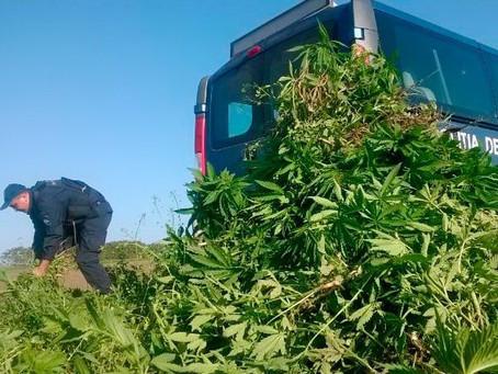 Вблизи села Етулия обнаружили поле конопли