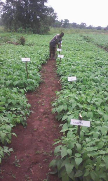 On farm trial of Beans in 2018.JPG