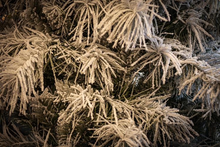 Snowy Crest Spruce 1.tif