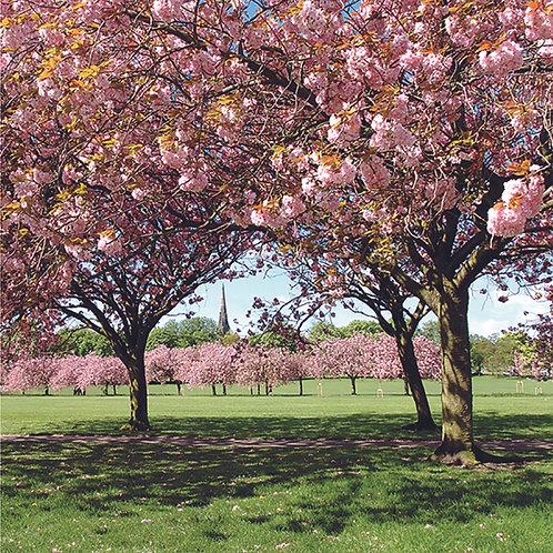 Blossom Walk - The Stray - Harrogate