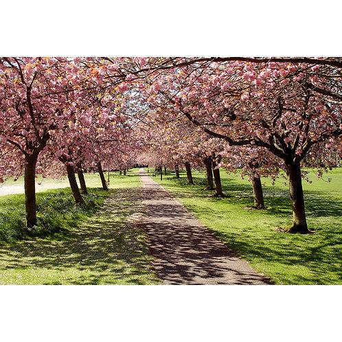 Blossom I - The Stray - Harrogate (Canvas)