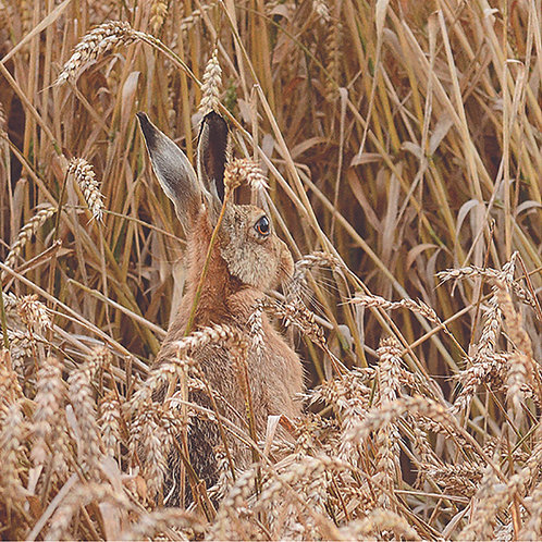 Hare (Wheat field)