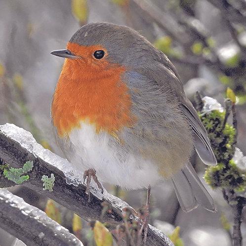 Robin (Winter)