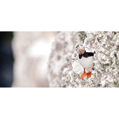 Peeking Puffin - Bempton Cliffs