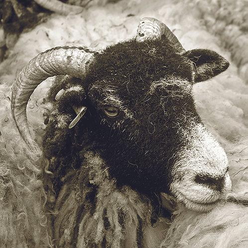 Swaledale Ewe (Black and White)