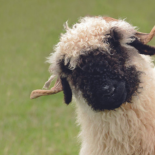 Valais Blacknose (Peek)