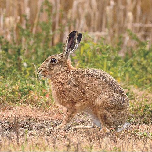 Hare (Profile)