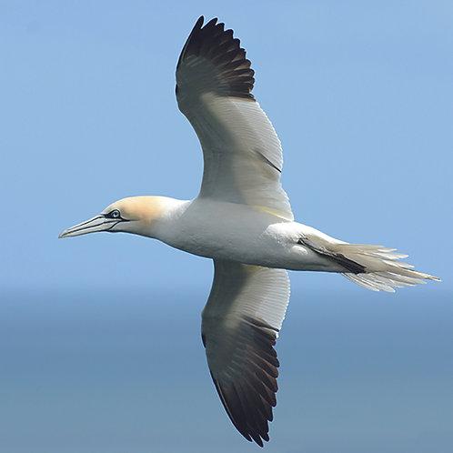 Gannet in flight - Bempton Cliffs