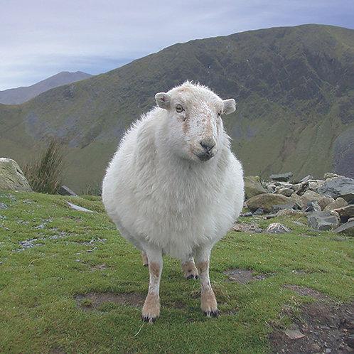 Mountain Sheep - Snowdonia