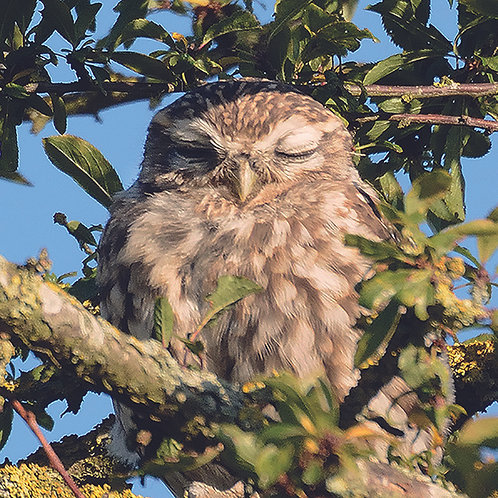Sleepy Little Owl