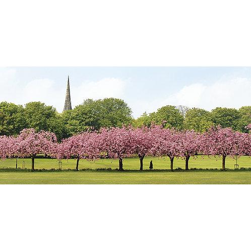 Blossom Walk - The Stray, Harrogate
